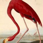 Audubon-Flamingo